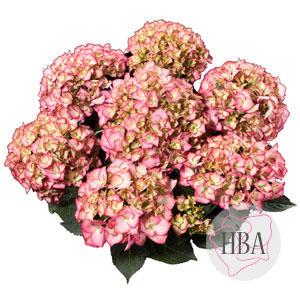 Adula pink