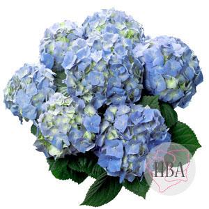 Bela blue