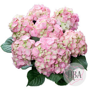 Bela pink
