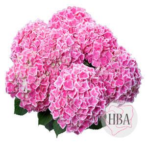 Camilla pink