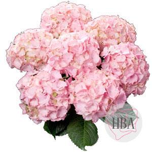 Pink Picotee