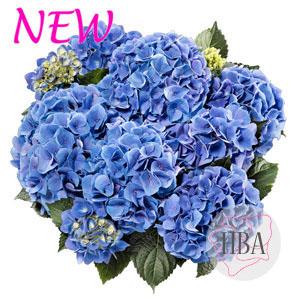 Sarena blue