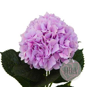Royal Benefit lavender