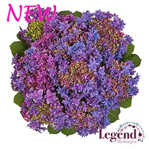 Francy purple