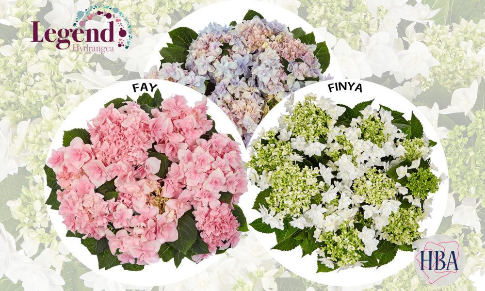 Hydrangea FYA en FINYA nieuw van HBA