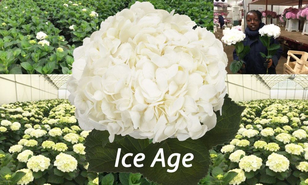 Hydrangea Ice Age - Blooming Innovations-HBA