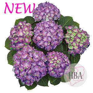 Sweet Lips purple