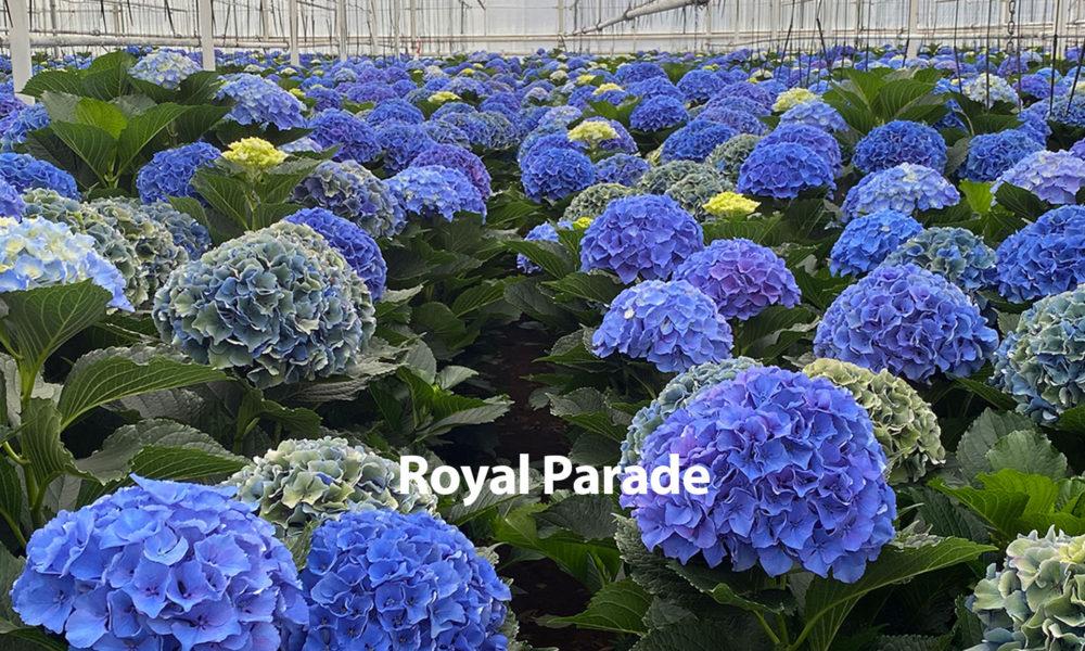 Snijhortensia Royal Parade HBA Open Dagen
