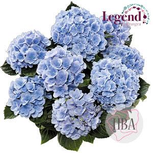 Florentina blue