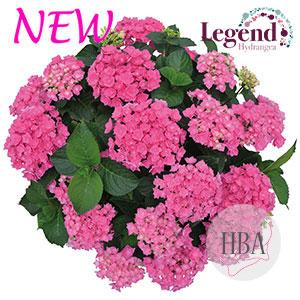 Haba Pink